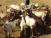 Thumb_goats_drinking_water_from_a_wheel_barrow__1_